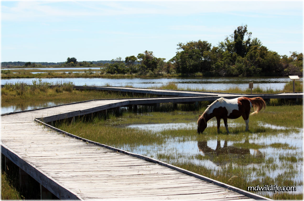horse in the marsh