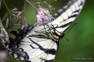 Tiger swallowtail underside
