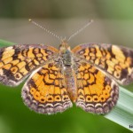 Pearl Crescent