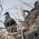 Black Vulture