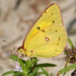 Orange Sulphur