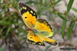 Orange Sulphur in flight
