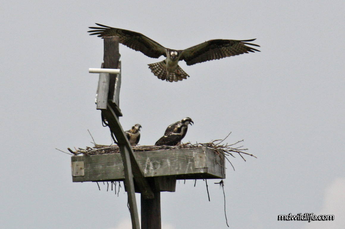 Osprey at it's nest