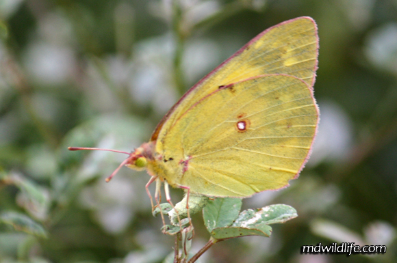 Possibly a Pink-Edged Sulphur