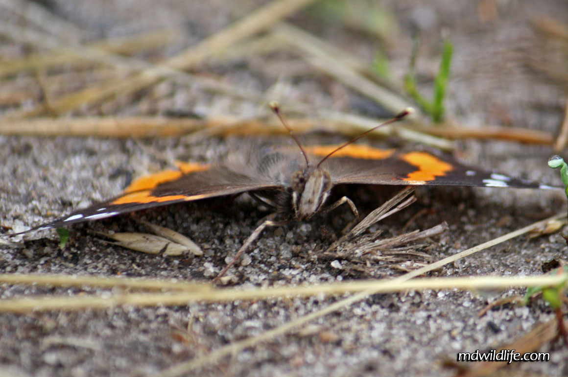 Red Admiral face