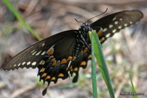 Spicebush swallowtail face