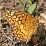 Variegated Fritillary