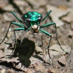 Six-spotted Tiger Beetle face