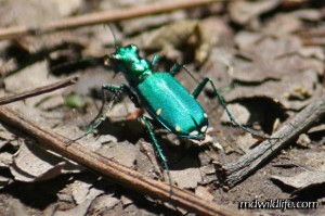 Six-spotted Tiger Beetle reaer