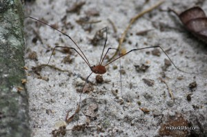 Harvestman on ground