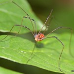 Harvestman