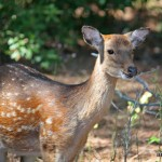 Sika Deer