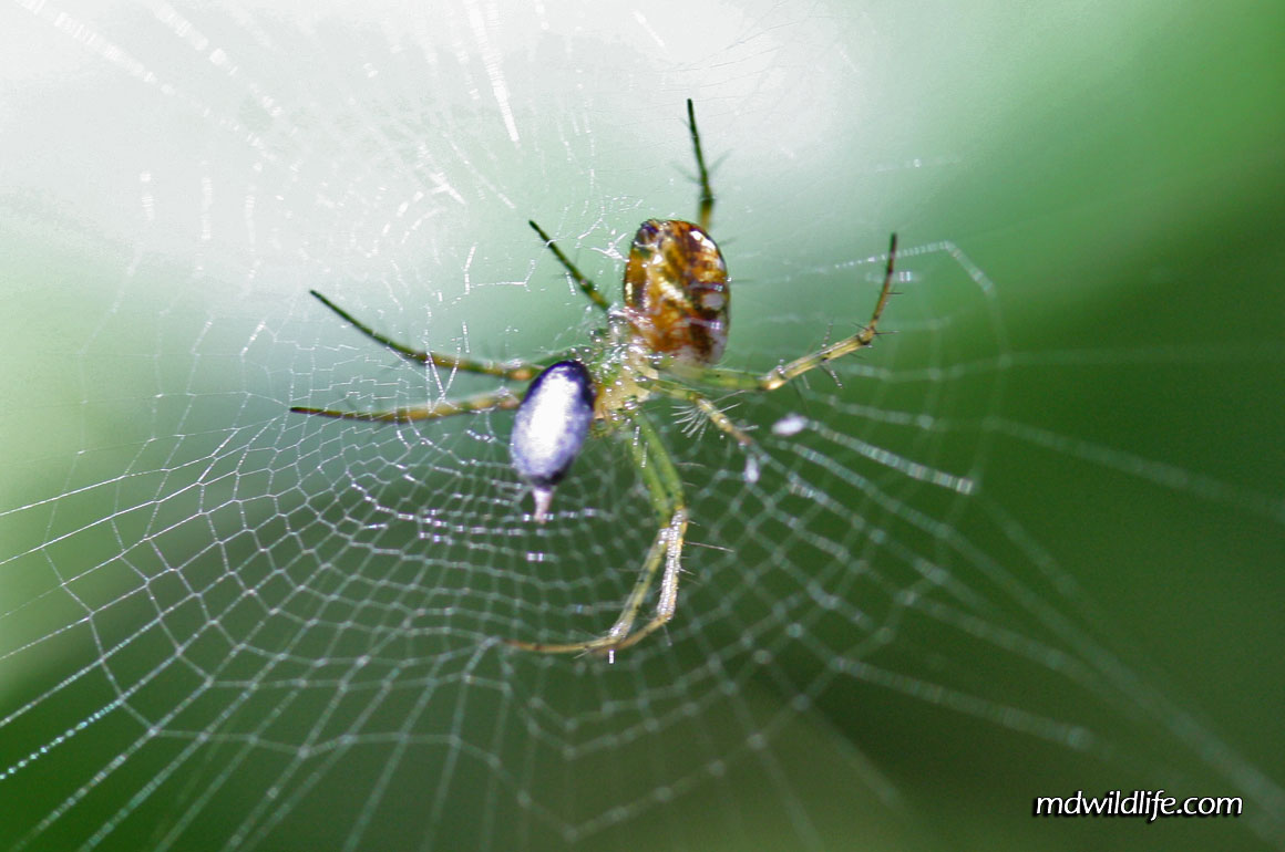 Orchard Orb-Weaver