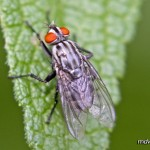 Flesh Fly