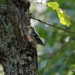 Black and White Warbler at Idylwild WMA