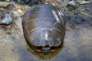 Eastern Painted turtle top