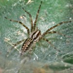 Funnel weaver spider in its web.