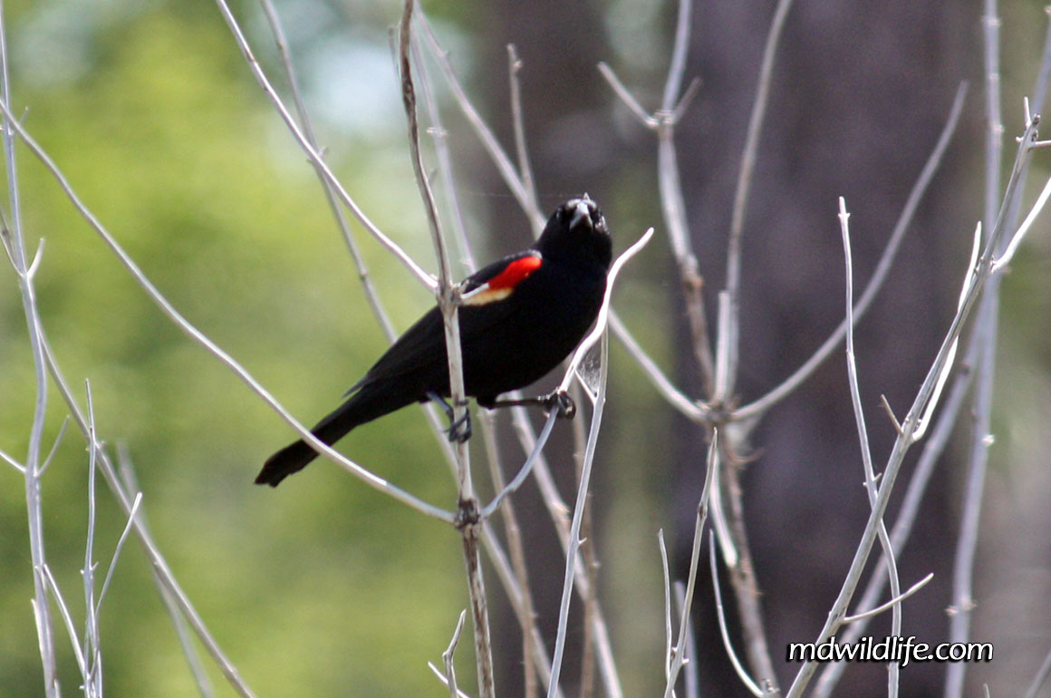 Red-Winged-Blackbird-Eastern-perched