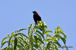 Red-winged Blackbird atop a tree