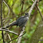 Gray Catbird