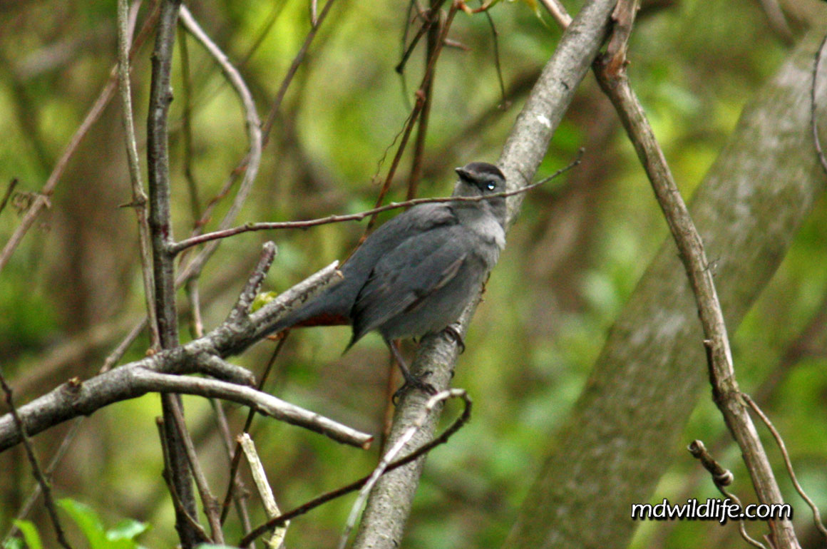 Gray Catbird in a tree